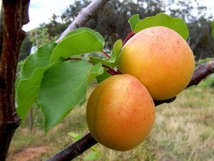 """Apricots"" by Fir0002 - Own work. Licensed under CC BY-SA 3.0 via Commons"