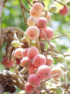 """Sycamore fruits"" by Eitan f 13:46, 8 July 2006 (UTC) - Own work. Licensed under Public Domain via Commons"